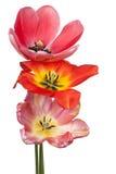 цветки изолировали тюльпан Стоковая Фотография RF