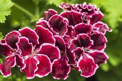 Цветки имперской пеларгонии Bordovy, цветок гераниума бархата фиолетовый с зелеными листьями стоковые изображения rf