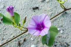 Цветки ипомея или цветок Creeper ноги козы или ипомея pes-ca стоковая фотография