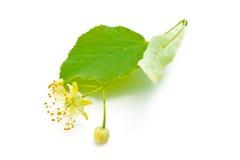 Цветки липы Стоковое Фото