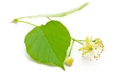 Цветки липы Стоковое Изображение