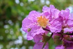 Цветки лирика Стоковые Изображения
