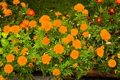 Цветки используемые в кухне: Corymbosa Tagetes ноготк Стоковое Изображение