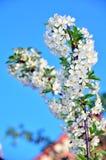 Цветки и бутоны вишневого дерева Стоковое Фото