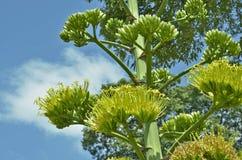 Цветки и бутоны дерева рами Стоковое фото RF