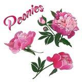 Цветки и бутоны розового пиона на белой предпосылке r иллюстрация штока