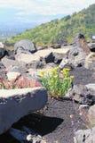 Цветки и вулканическая лава среди камней etna Италия Сицилия Стоковые Изображения RF