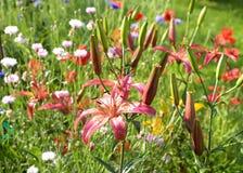 Цветки лилии и смешивания в цветнике Стоковое фото RF