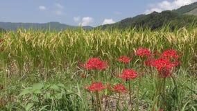 Цветки лилии красного паука акции видеоматериалы