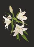 Цветки лилии на черной предпосылке Стоковые Фотографии RF