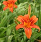 Цветки лилии тигра Стоковое Изображение RF