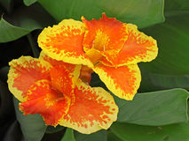 Цветки лилии Canna Стоковая Фотография
