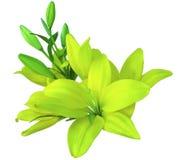Цветки лилий желт-зеленые, на белой предпосылке, изолированной с путем клиппирования красивый букет лилий с зелеными листьями, Стоковые Фотографии RF