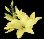 Цветки лилий свет-желтые, на черной предпосылке, изолированной с путем клиппирования красивый букет лилий с зелеными листьями, Стоковые Изображения