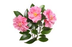 3 цветки и листвы камелии стоковое изображение rf