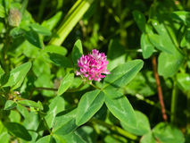 Цветки и листья красного клевера, pratense Trifolium, с макросом предпосылки bokeh, селективный фокус, отмелый DOF Стоковое фото RF