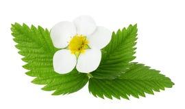 Цветки и листья клубники изолированные на белой предпосылке Стоковые Изображения RF