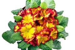 Цветки и листья первоцвета Стоковое Фото