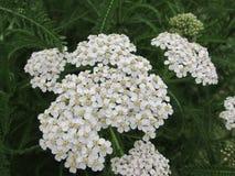 Цветки и листья тысячелистника обыкновенного Стоковое фото RF