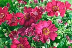 Цветки и листья Groundsel Стоковое фото RF