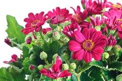 Цветки и листья Groundsel Стоковое Изображение