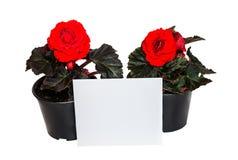 Цветки и карточка бегонии саженцев красные для изолированных примечаний Стоковое Фото