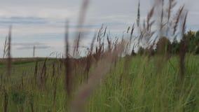 Цветки и кукурузные початки луга пошатывают в ветре на солнечный летний день видеоматериал