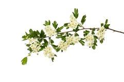 Цветки и листва боярышника стоковое изображение rf