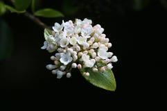 Цветки и листва калины стоковая фотография