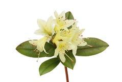 Цветки и листва рододендрона стоковое изображение