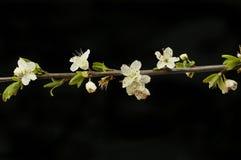Цветки и листва терновника стоковые изображения