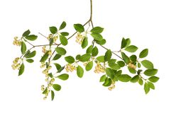 Цветки и листва Enkianthus стоковое изображение