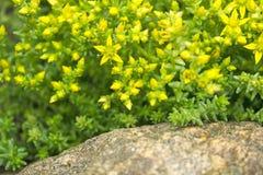 Цветки и листья succulents Уellow на утесе стоковое фото