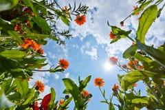 Цветки и небо Calendula Стоковые Фотографии RF