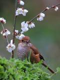 Цветки и птицы весны, Bull-головое Shrike и вишневые цвета Стоковая Фотография RF