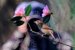 Цветки и птицы весны, Bull-головое Shrike и вишневые цвета Стоковое Фото