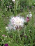Цветки и семена Serratula Стоковая Фотография RF