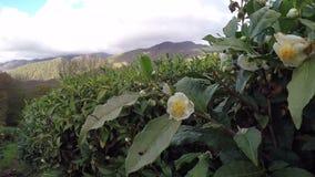 Цветки и семя нося плоды дерева чая Против фона голубого неба видеоматериал