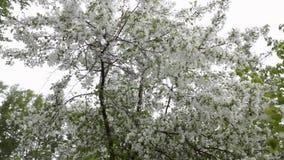 Цветки и сильный ветер яблони цвести белые видеоматериал