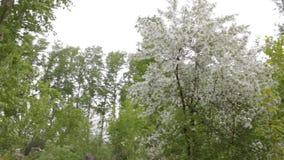 Цветки и сильный ветер яблони цвести белые сток-видео