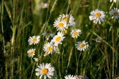 Цветки и трава осветили теплое sunlit на луге лета Маргаритки луга Стоковая Фотография RF