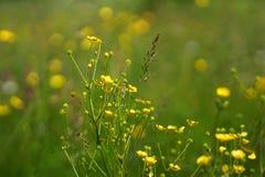Цветки и трава осветили теплое sunlit на луге лета, предпосылки конспекта естественные для вашего дизайна Стоковая Фотография RF