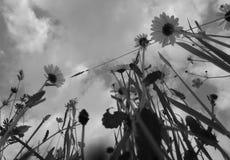 Цветки и трава луга в черно-белом Стоковое Изображение