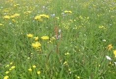 Цветки и трава луга Стоковые Изображения RF