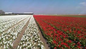 Цветки и тюльпаны Muscari Стоковое Изображение RF