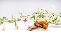 Цветки и улитка Goji на белой предпосылке стоковые изображения rf