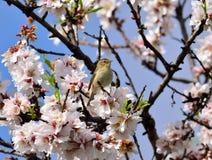 Цветки и chiffchaff миндалины Стоковое Фото