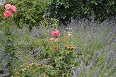 Цветки и lavander макроса розовые на саде Стоковая Фотография RF