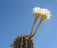 Цветки кактуса Стоковая Фотография