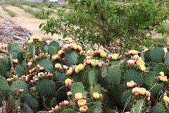 Цветки кактуса на юге  Франции Стоковые Изображения